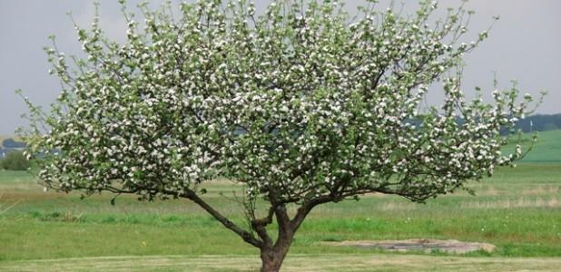 Baum in Blüte artikelbild